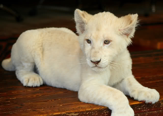 Pets Pakistan - Young exotics cubs available male and female