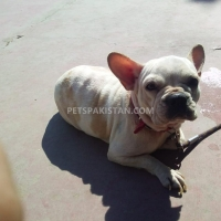boston-terrier-other-karachi