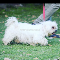 shitzu-pair-healthy-active-65000pair-shih-tzu-lahore