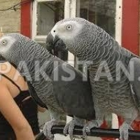 baby-african-grey-congo-available-african-grey-parrot-samasatta-2