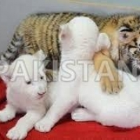 cheetah-cubs-lion-cubs-and-tiger-cubs-for-sale--jauhar-abad