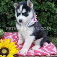 blue-eyes-siberian-husky-puppies-for-sale-shih-tzu-abbas-nagar
