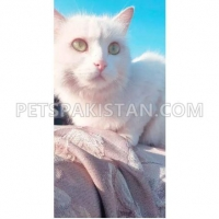 exchane-with-black-male-kitten-persian-cats-rawalpindi