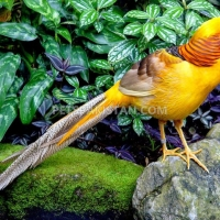 red-golden-pheasant-yellow-golden-pheasant-and-lady-amherst-pheasant-putrhey-golden-pheasant-lahore-cantt-4