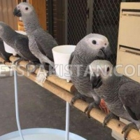 available-african-grey-parrots-for-sale-african-grey-parrot-islamabad