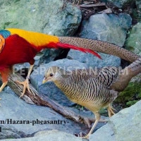 red-golden-pheasant-yellow-golden-pheasant-and-lady-amherst-pheasant-putrhey-golden-pheasant-lahore-cantt-5