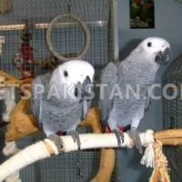 african-grey-parrot-looking-new-home-african-grey-parrot-islamabad
