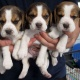 cute-beagle-puppies-for-sale-beagles-badhber