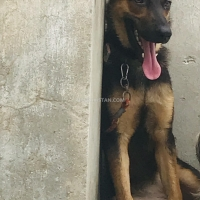 german-shepherd-german-shepherd-lahore