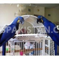 cute-hyacinth-macaw-birds-available-macaws-attock