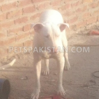 pair-of-kohati-gull-terr-dogs-for-sale-other-gojra