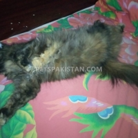 black-cat-persian-cats-karachi