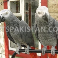 baby-african-grey-congo-available-african-grey-parrot-samasatta