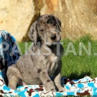 sweet-great-dane-puppies-for-sale-great-dane-abbas-nagar
