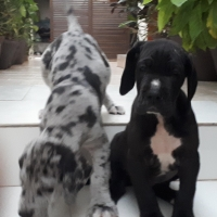 great-dane-puppies-for-sale-great-dane-karachi