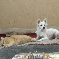 russian-dog-other-quetta-3
