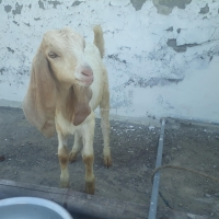 goat-betal-with-3-month-old-male--rawalpindi-3