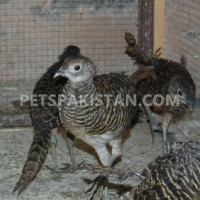red-golden-pheasant-yellow-golden-pheasant-and-lady-amherst-pheasant-putrhey-golden-pheasant-lahore-cantt-6