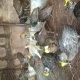 pheasants-chicks-for-sale-golden-pheasant-islamabad