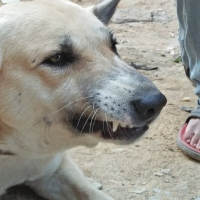 white-shepherd-breed-german-shepherd-karachi