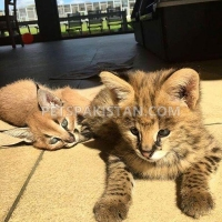 serval-savannah-caracal-and-ocelot-kittens-for-sale-bengal-renala-khurd