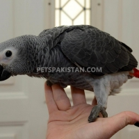 males-females-african-grey-available-african-grey-parrot-adenzai