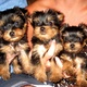 yorkie-puppies-ready-for-sale-yorkshire-terrier-karampur