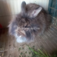 beautiful-rabbit-bunnies-cat-karachi-6