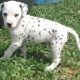 dalmatian-puppy-for-new-home-dalmatian-akhtar-abad