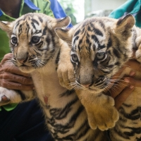 young-exotics-cubs-available-male-and-female-lion-tiger-cheetah-leopard-etc-bengal-islamabad-4
