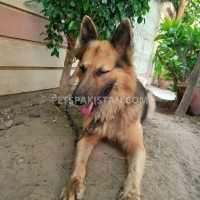 value-for-money-german-shepherd-karachi