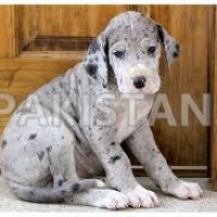 great-dane-puppies-for-you-available-great-dane-abbottabad