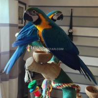 healthy-blue-and-gold-macaw-parrots-available-macaws-clifton-cantt
