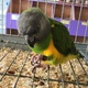 cuddly-tame-baby-senegal-parrots-palm-cockatoos-and-african-greys-for-sale-senegal-parrots-islamabad