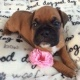 m-f-health-guarantee-boxer-puppies-for-sale-500-boxer-d-m-c-malir