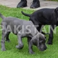 free-great-dane-puppies-available-great-dane-abdul-hakim