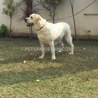 labradour-breeder-pedigree-female-for-sale-labrador-retriever-gujranwala
