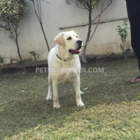 labradour-breeder-pedigree-female-for-sale-labrador-retriever-gujranwala-2