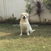 labradour-breeder-pedigree-female-for-sale-labrador-retriever-gujranwala-5