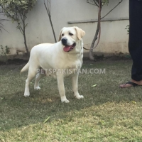 labradour-breeder-pedigree-female-for-sale-labrador-retriever-gujranwala-3