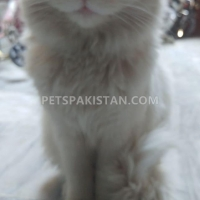 healthy-persian-vaccinated-cat--islamabad