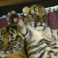 young-exotics-cubs-available-male-and-female-lion-tiger-cheetah-leopard-etc-bengal-islamabad