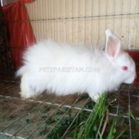 beautiful-rabbit-bunnies-cat-karachi-3
