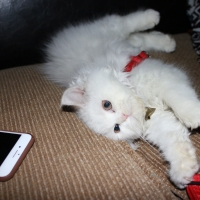 persian-kitten-white-persian-cats-lahore