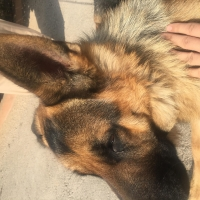 male-german-shepherd-german-shepherd-peshawar