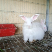 beautiful-rabbit-bunnies-cat-karachi-1