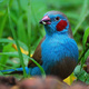 red-checked-cordon-blue-for-sale-blue-capped-cordon-bleu-finch-karachi