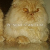 golden-extreme-persian-cat-male-persian-cats-lahore-1