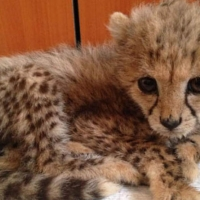 young-exotics-cubs-available-male-and-female-lion-tiger-cheetah-leopard-etc-bengal-islamabad-2