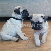 pug-puppies-available-now-pug-lahore
